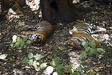 Bengal Tigers (Panthera Tigris Tigris) wild sub-adult males, critically endangered. Bandhavgarh Tiger Reserve, India.