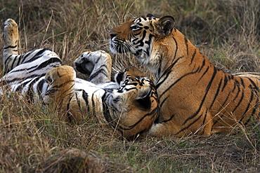 Bengal Tigers (Panthera tigris tigris), wild adult males, critically endangered. Bandhavgarh Tiger Reserve, India.