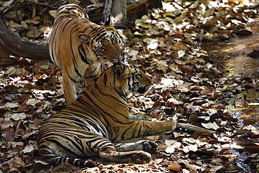 Bengal Tigers (Panthera Tigris Tigris) wild sub-adult males, critically enangered. Bandhavgarh Tiger Reserve, India.