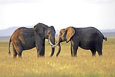 African Elephants (Loxodonta africana) wild adults. Amboseli National Park, Kenya.