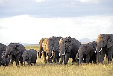 African Elephants (Loxodonta africana) wild female adults and juveniles, breeding herd. Amboseli National Park, Kenya.