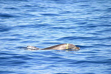 Bottlenose dolphin at surface with plastic around head (Tursiops truncatus) Azores, Atlantic Ocean   (RR)