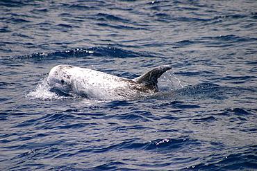 Risso's dolphin surfacing (Grampus griseus) Azores, Atlantic Ocean   (RR)