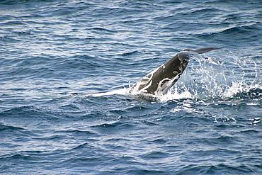Risso's dolphin breaching (Grampus griseus) Azores, Atlantic Ocean   (RR)