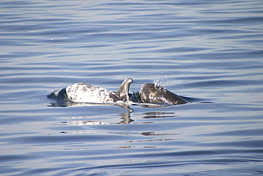 Risso's Dolphin, (Grampus griseus) mother and calf. Azores   (RR)