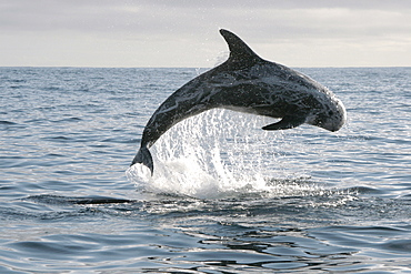 Risso's Dolphin leaping clear out of the water during a bout of socialising   (RR)