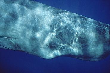 Sperm Whale (Physeter macrocephalus) eye underwater. Azores