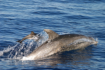 Bottlenose dolphin surfacing with tiny baby (Tursiops truncatus) Azores, Portugal   (RR)