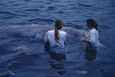 Cuvier's Beaked Whale (Ziphiius cavirostris) rescue in Horta Harbour. Azores