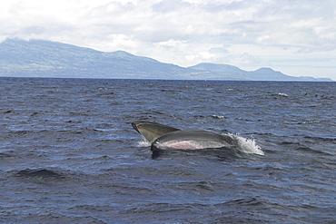Fin Whale, Balaenoptera physalus, lunge feeding off Faial Island, Azores   (RR)