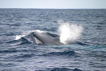 Blue whale (Balaenoptera musculus) surfacing, Azores, Atlantic Ocean   (RR)