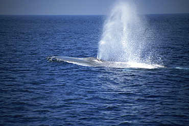 Blue Whale (Balaenoptera musculus) blow. Azores