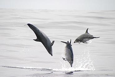 Bottlenose Dolphin, (Tursiops truncatus) leaping trio. Azores   (RR)