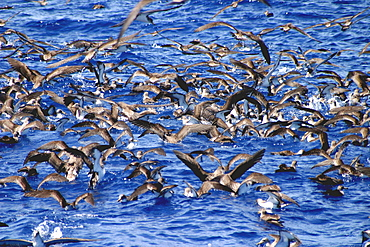 Flock of Cory shearwaters on sea surface (Calonectris diomedea) Azores, Atlantic Ocean   (RR)