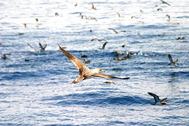 Cory shearwater in flight above sea (Calonectris diomedea) Azores, Atlantic Ocean   (RR)