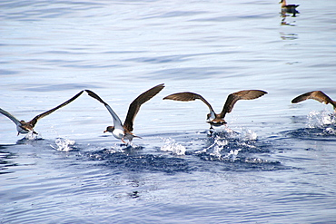 Cory shearwaters taking off from surface (Calonectris diomedea) Azores, Atlantic Ocean   (RR)
