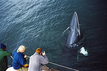 Whale watchers eye to eye with an inquistive Minke whale (Balaenoptera acutorostrata) associating with their boat. Hebrides, Scotland - 969-215