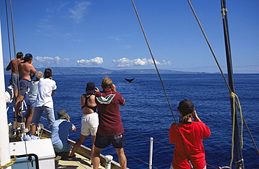 85001100LS.jpg / Sperm Whale  (Physeter macrocephalus) flukes, whale watching.  Azores