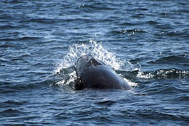 Sei Whale breaking through the waves