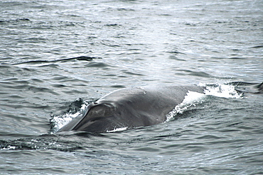 Sei Whale headed for the photographer showing the single ridge along the top of the head