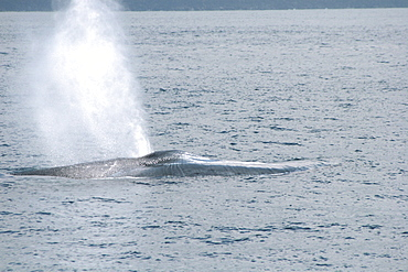 Blue Whale blowing at the surface, off the Azores