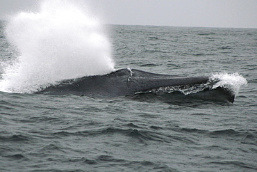Blue whale fast swimming off the Azores with a big blow