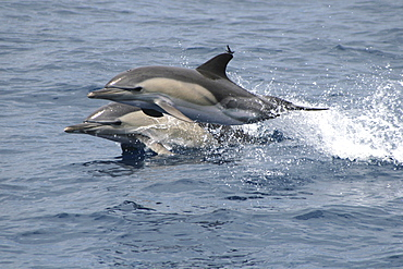 Pair of Common Dolphin leaping at the surface. The Azores