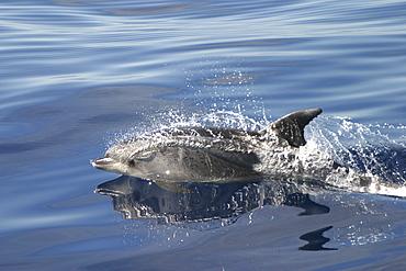 Bottlenose Dolphin, (Tursiops Truncatus). Azores   (RR)
