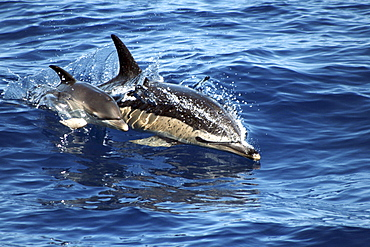 Common Dolphin Mother and Calf at the surface. The Azores