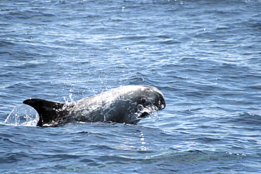 Risso's Dolphin leaping at the surface. Azores, North Atlantic