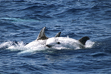 Group of Risso's Dolphin - 1 leaping out of wave. Azores, North Atlantic