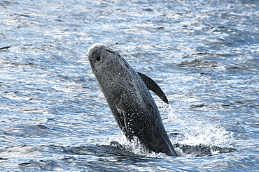 Risso's Dolphin breaching at the surface. Azores, North Atlantic