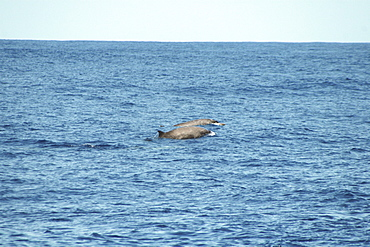 A pair of Sowerby's beaked whales at the surface off the Azores Islands
