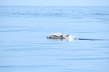 Blainville's beaked whale racing along the surface