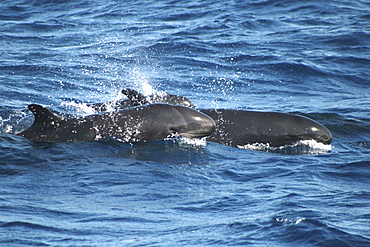 Pair of False Killer Whales at the surface