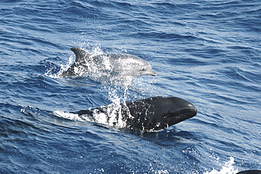 A false killer whale and bottlenose dolphin leaping at the surface together