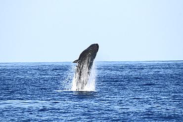 Sperm Whale Breach Sequence. Azores, North Atlantic