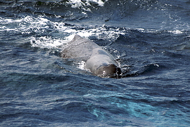 Sperm Whale approaching - inquisitive about the boat. Azores, North Atlantic