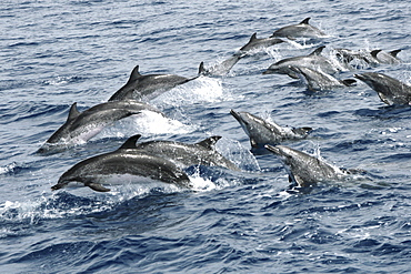 Spotted Dolphin on the move. Azores, North Atlantic