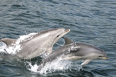Bottlenose dolphin and calf leaping together at the surface