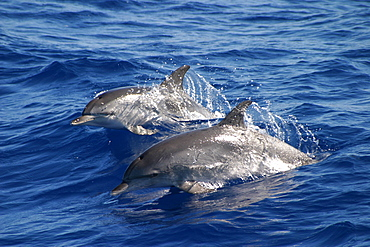 Two Atlantic spotted dolphins surfacing (Stenella frontalis) Azores, Portugal   (RR)