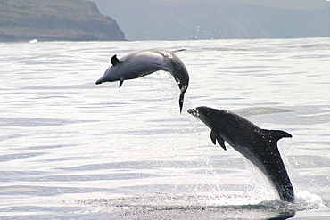 Two Bottlenose dolphins leaping at surface (Tursiops truncatus) Azores, Atlantic Ocean   (RR)