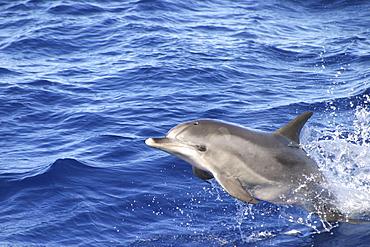 Atlantic Spotted Dolphin, (Stenella frontalis). Azores   (RR)