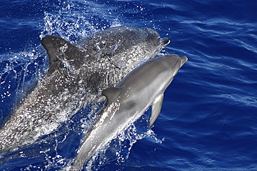 Spotted Dolphin, Stenella frontalis, mother and calf leaping off the Azores Islands   (RR)