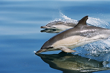 Common dolphins (Delphinus delphis) surfacing at speed in very calm waters. Eye, beak, flipper and dorsal fin visible above the surface. Hebrides, West coast of Scotland.  - 969-72