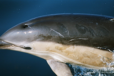 Common dolphin (Delphinus delphis) showing a large number of rake marks on its back inflicted by the teeth of other common dolphins. Hebrides, West coast of Scotland.