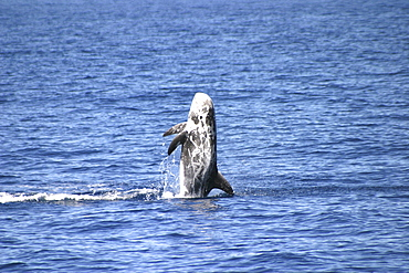 Risso's Dolphin, Grampus griseus,  breaching in the Azores   (RR)
