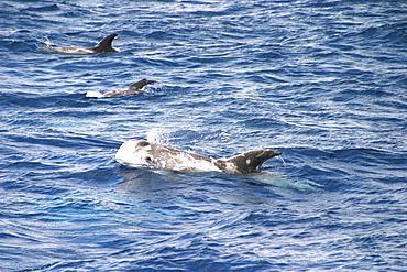 Risso's dolphin surfacing to exhale (Grampus griseus) Azores, Atlantic Ocean   (RR)