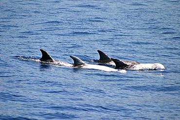 Pod of Risso's dolphins surfacing (Grampus griseus) Azores, Atlantic Ocean   (RR)