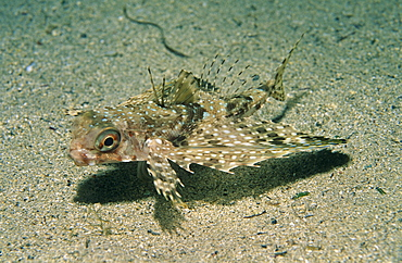 Flying Gurnard (Dactyloptena orientalis), on sandy seabed,  Xlendi Bay, Gozo, Maltese Islands, Mediterranean